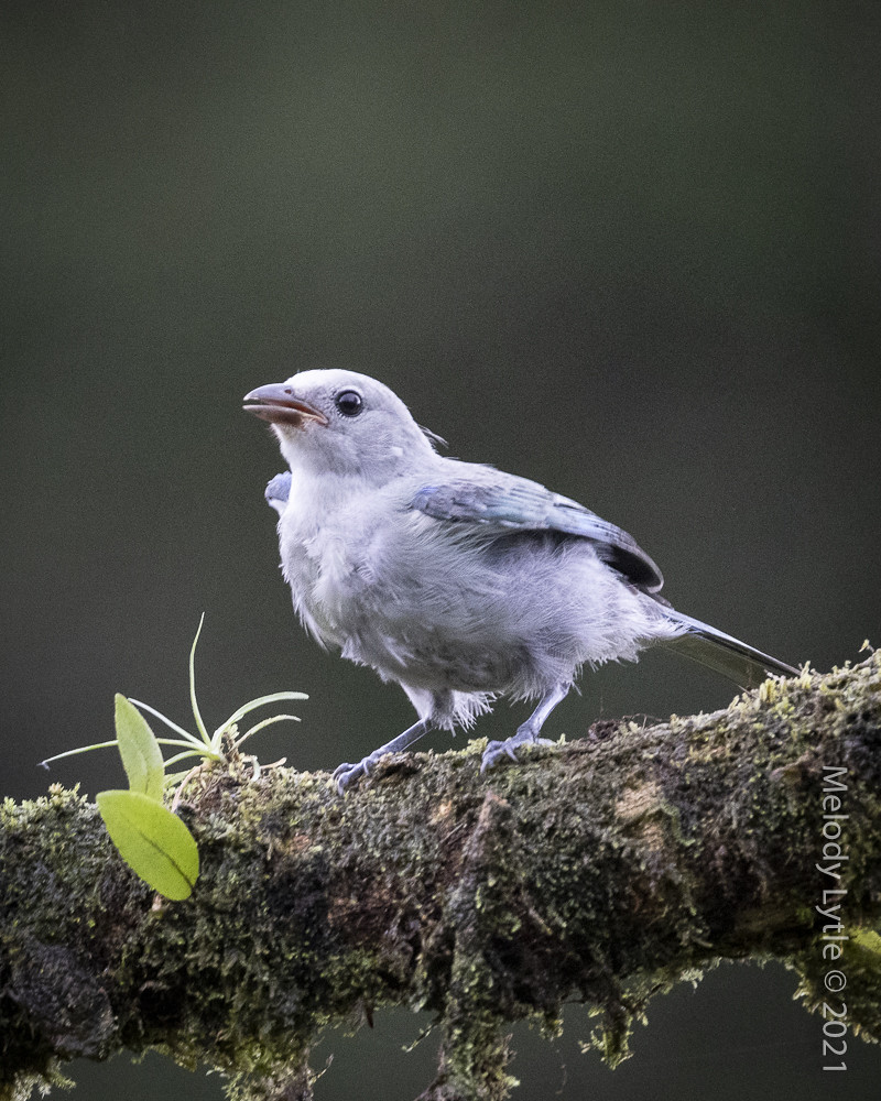 Blue-gray Tanager, juvenile