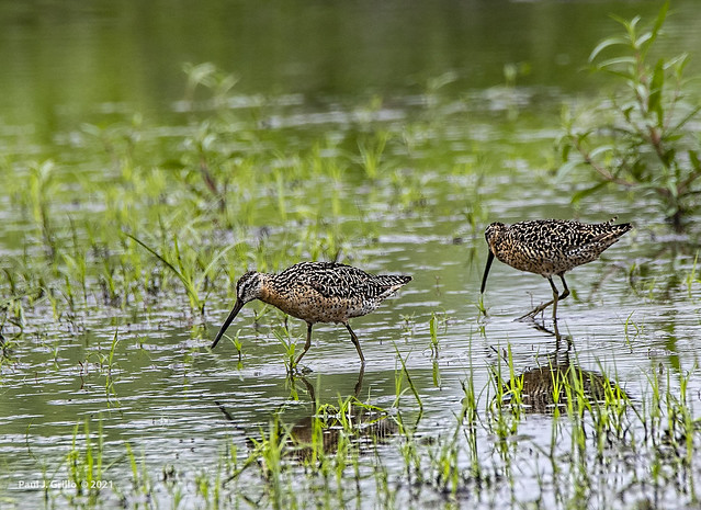 Dowitchers!