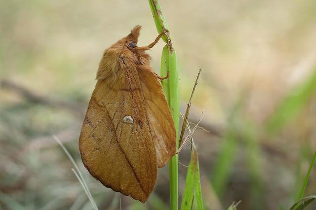 Grasglucke oder Trinkerin (Euthrix potatoria) - Nachtfalter