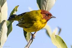 Mangrove Yellow Warbler201213 4-201213