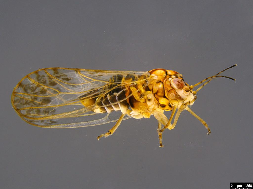 12b - Acizzia sp.