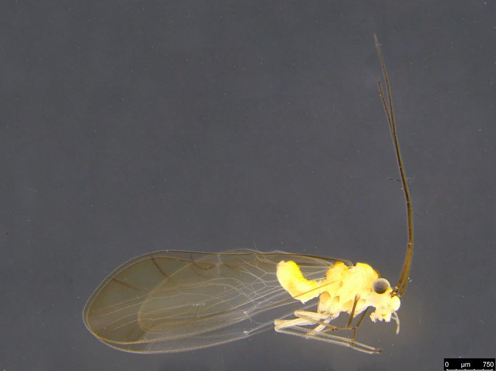 16a - Psocodea sp.