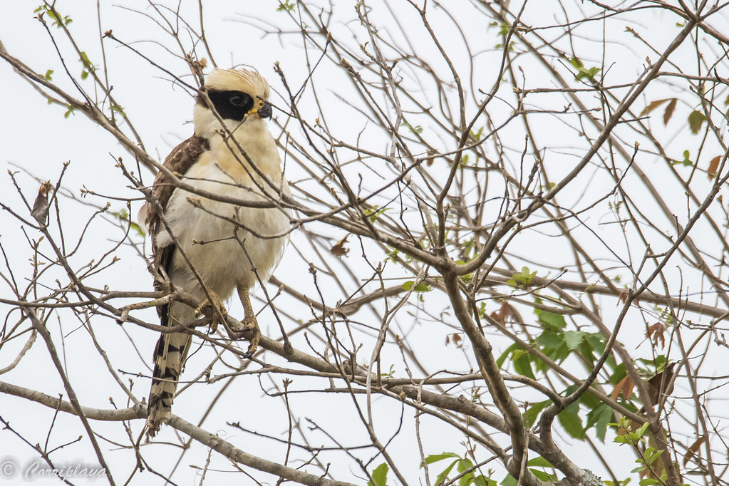 Halcón reidor, Herpetotheres cachinnans, Laughing Falcon