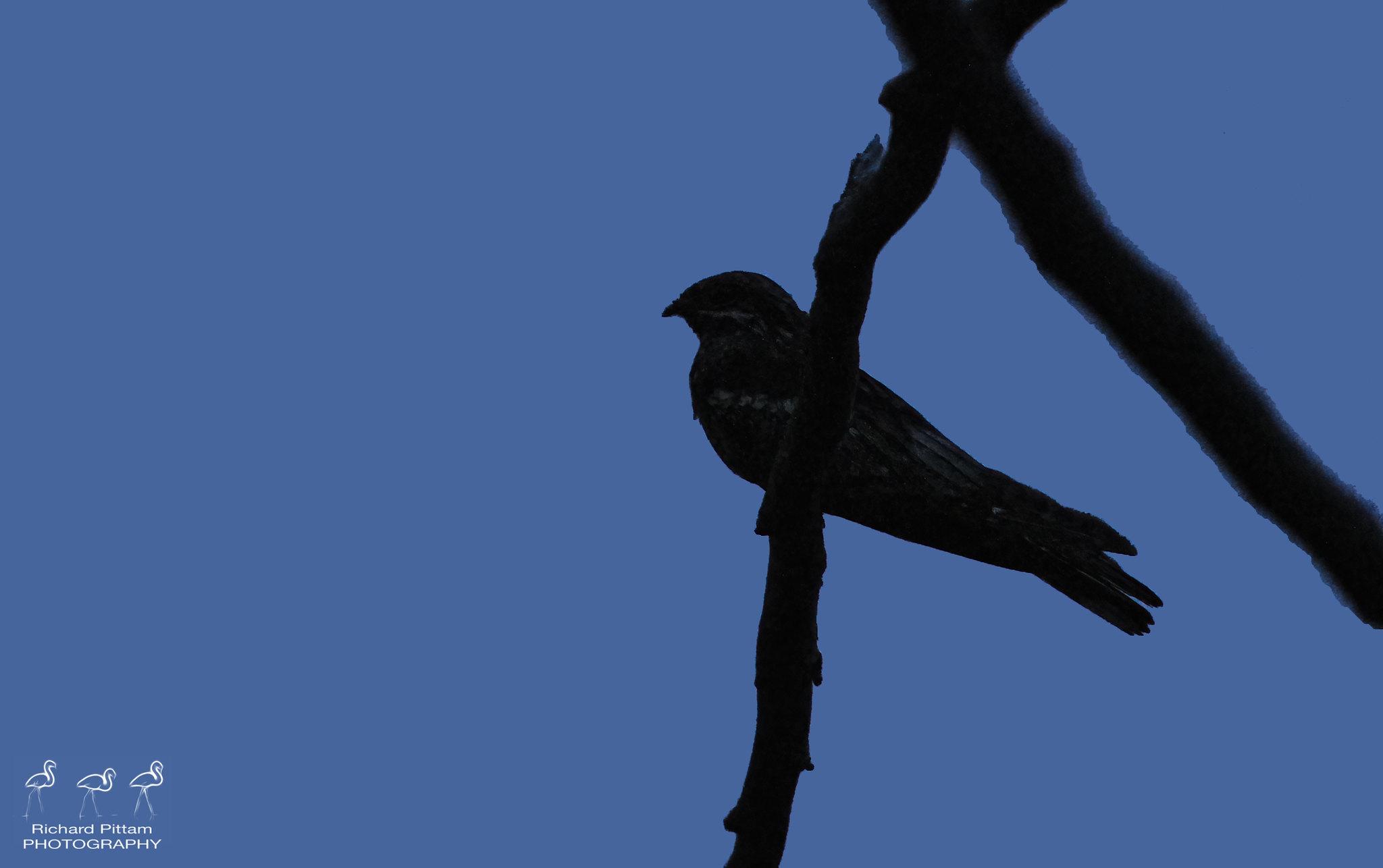 Nightjar - it's difficult shooting in the dark, at a dark subject....god those midges :-(