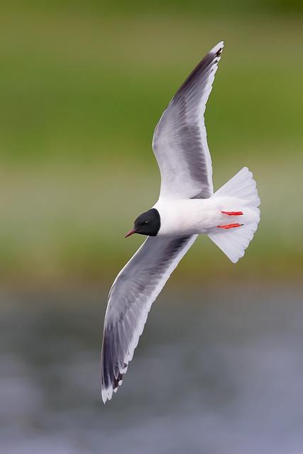 Hydrocoloeus minutus   Little Gull   dvärgmås