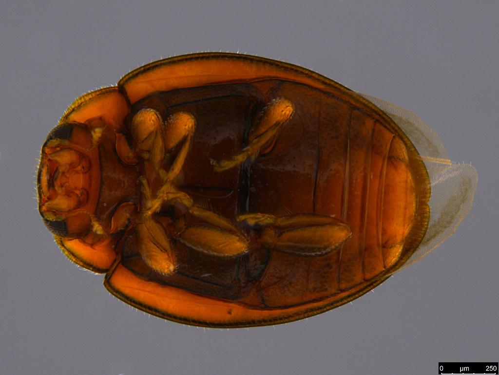 4b - Coccinellidae sp.