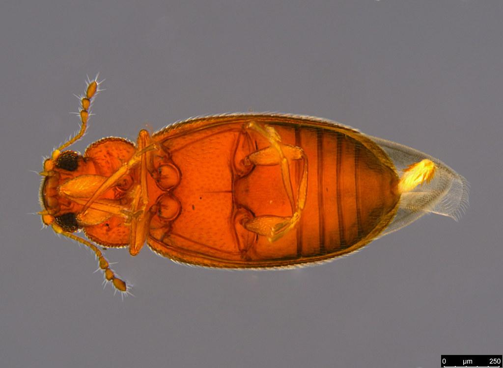 6b - Corticariinae sp.