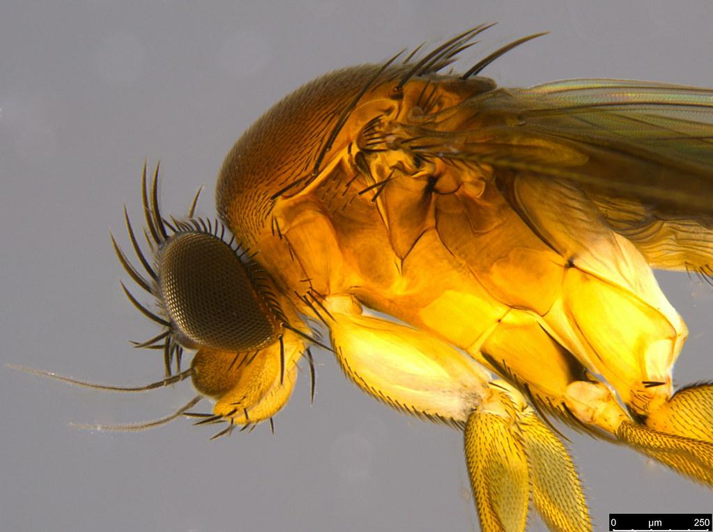 10b - Phoridae sp.