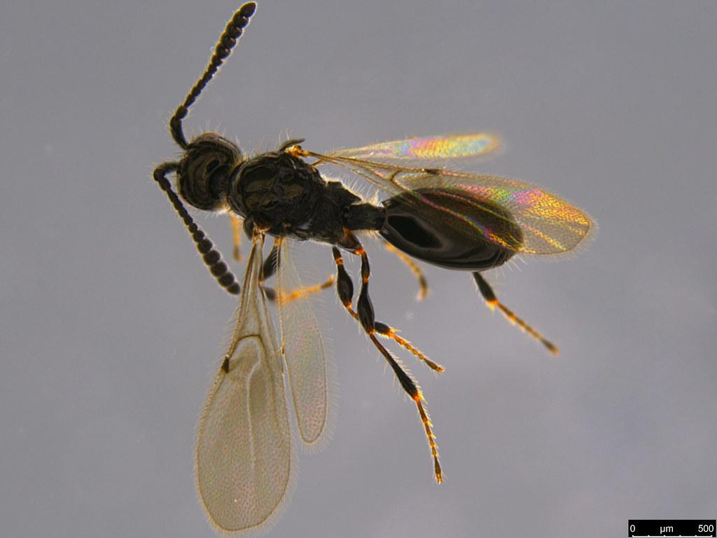 14b - Diapriidae sp.