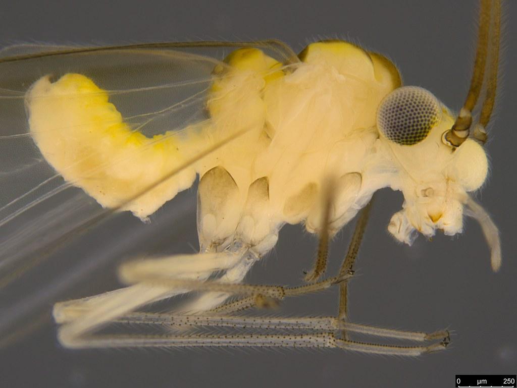16b - Psocodea sp.