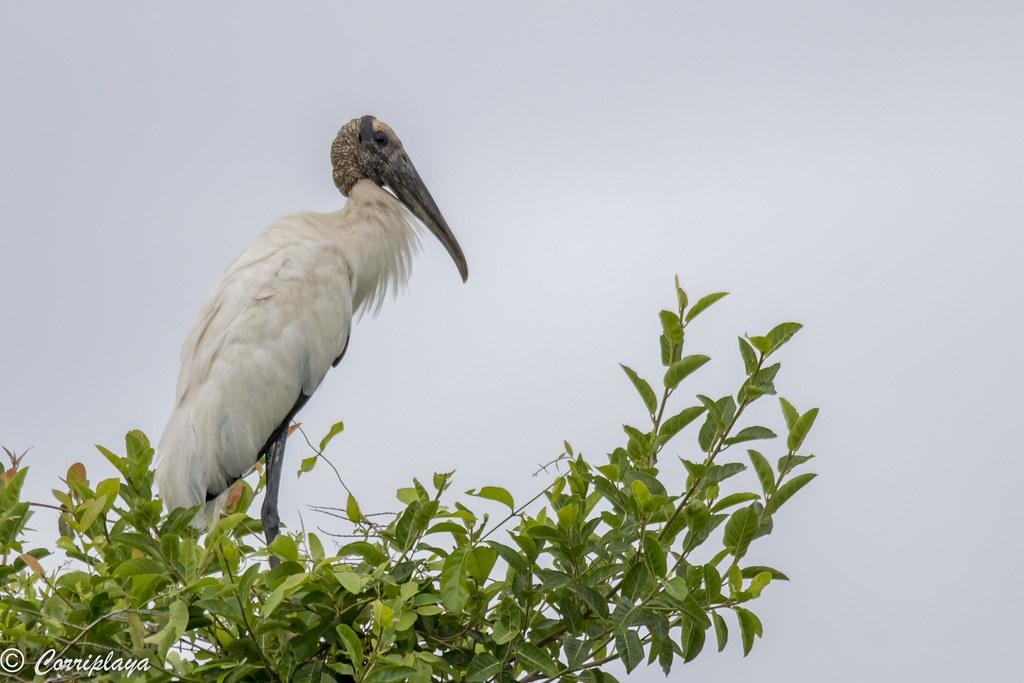 Tántalo americano, Mycteria americana, Wood Stork