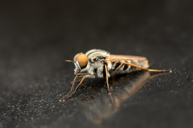 Syrphides, Syrphes    ---  Hoverfly --- Sírfidos
