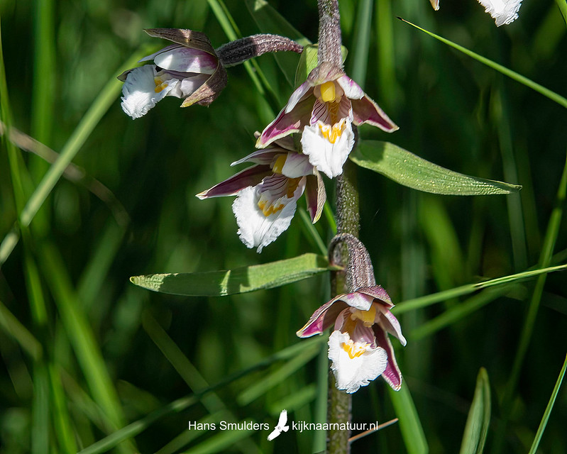 Moeraswespenorchis (Epipactis palustris)-850_4490