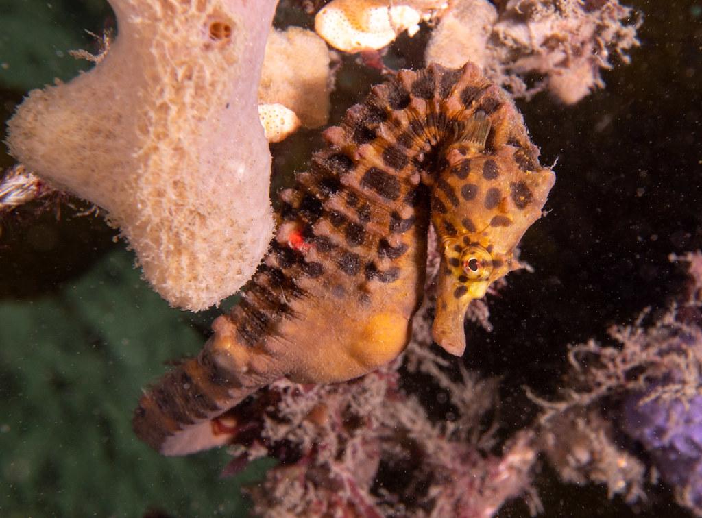 Hippocampus abdominalis #marineexplorer