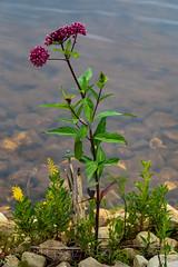 Swamp Milkweed in the Upper Peninsula