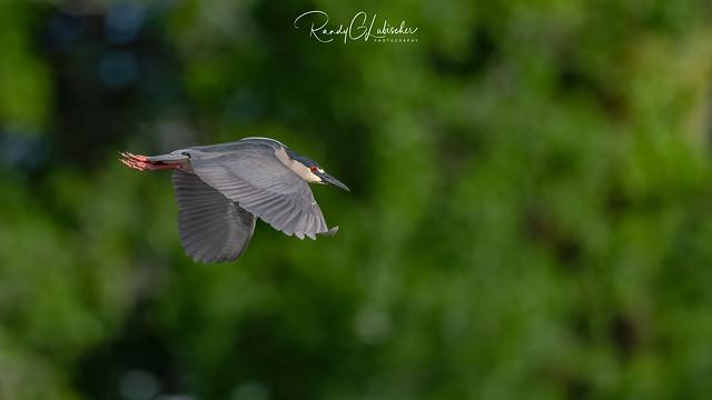 Black-crowned Night Heron | Nycticorax nycticorax | 2021 - 11