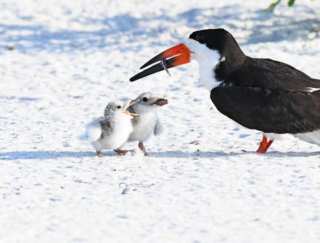 Black Skimmer Feeding Newborn