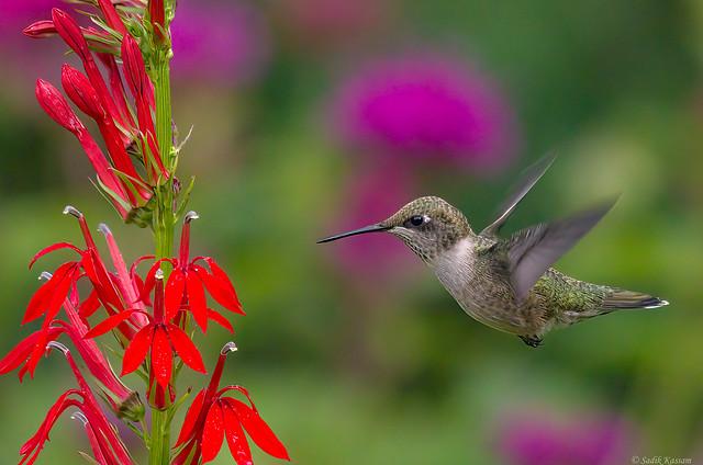 Ruby-throated Hummingbird, F