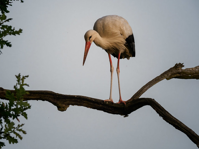 The stork seeks rest in the tree