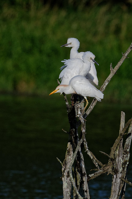 Héron garde-boeufs - Bubulcus ibis - Western Cattle Egret - Kuhreiher - Garcilla Bueyera - Airone guardabuoi