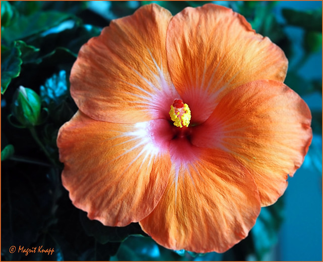 Freitagsblümchen Hibiskus