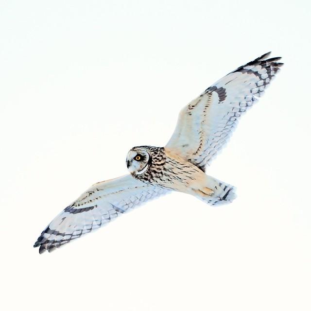 Short-eared Owl at walkill ,NY.feb6
