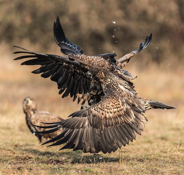 White-tailed Eagles / Zeearend / Aigle à queue blanche
