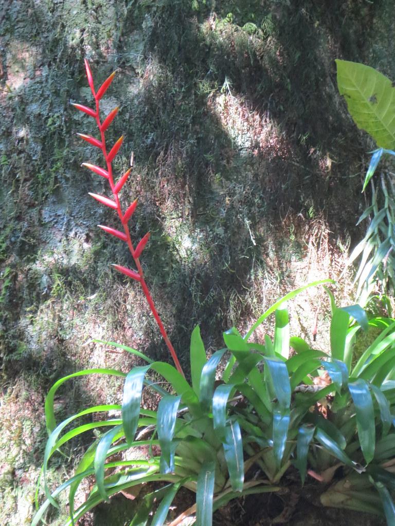 Vriesea psittacina (Hook.) Lindl. var. psittacina