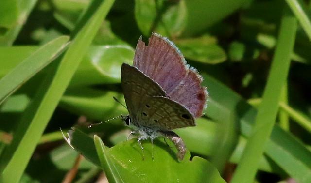 Ceraunus Blue Butterfly Laying An Egg!
