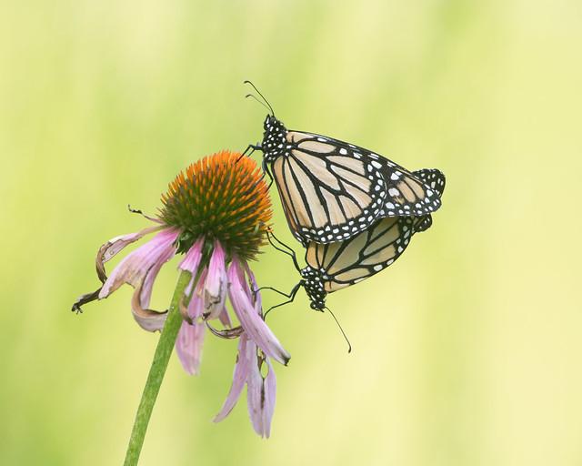 Monarchs in Love