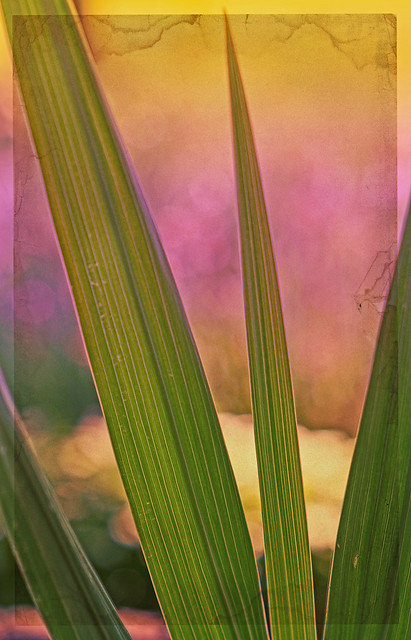 Gladiola Leaves