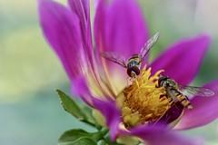 Blomflugor