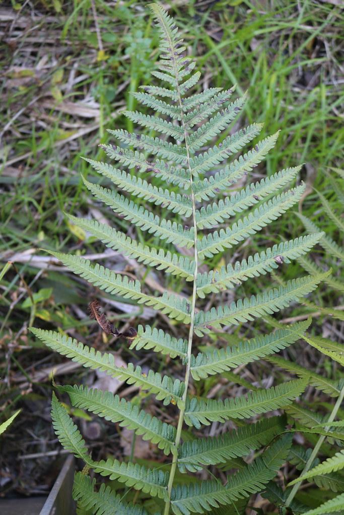 Hairy maiden fern (Christella hispidula)