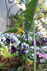 Tomatillo flower