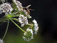Berg-Feldwespe (Polistes biglumis) (2)