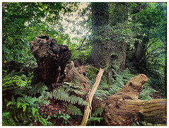 Oeroude houtwal #oldenzaal #twente #nature #tree