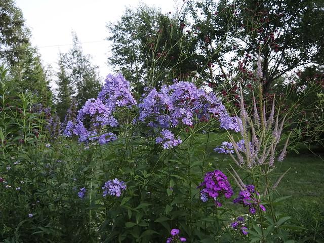 Phlox paniculata 'Blue Evening'