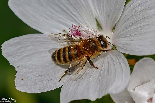 European Honey Bee, Apis mellifera