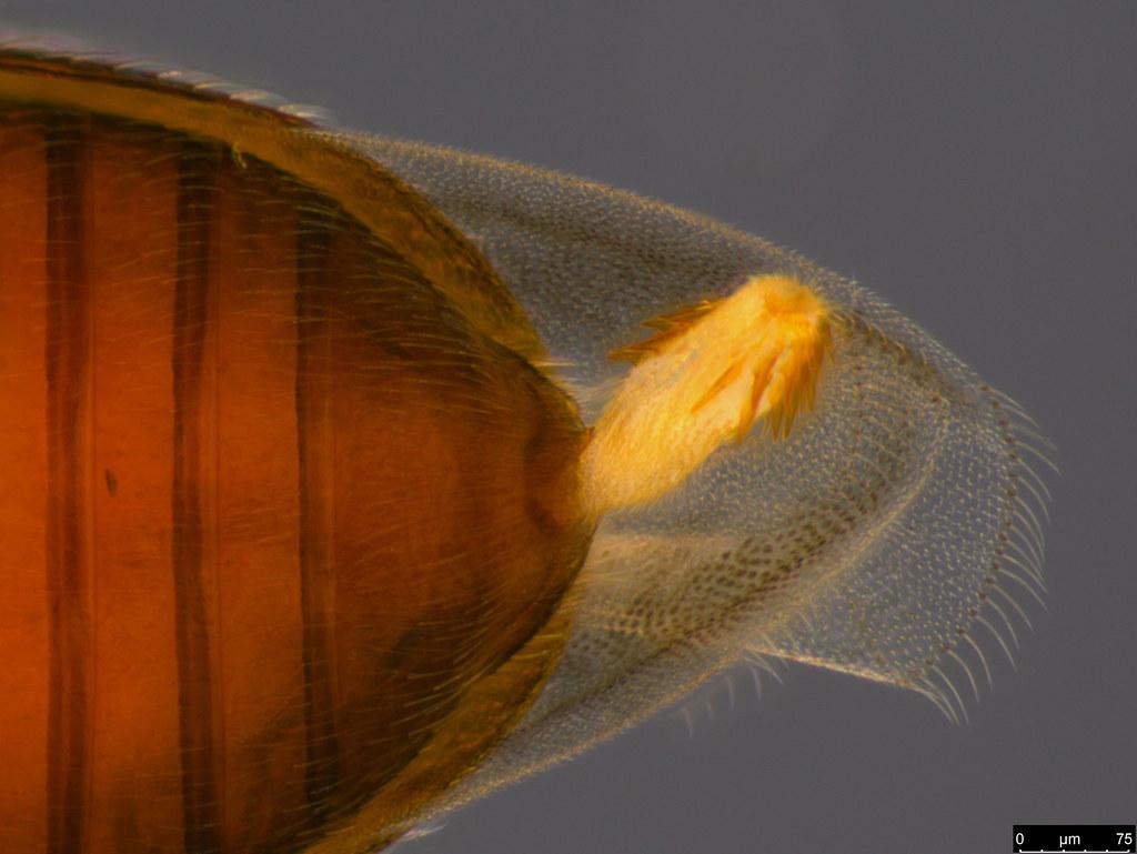 6c - Corticariinae sp.