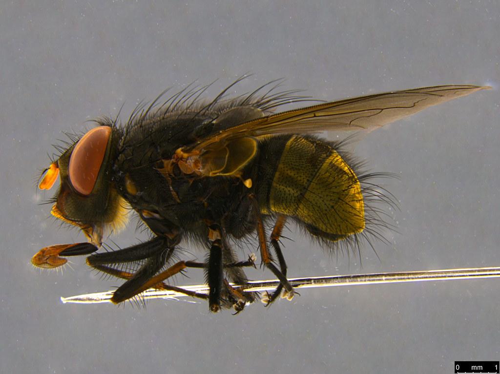 11b - Calliphorinae sp.