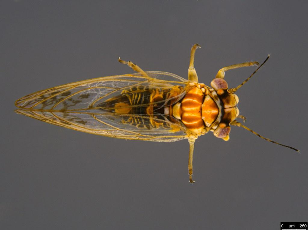 12a - Acizzia sp.