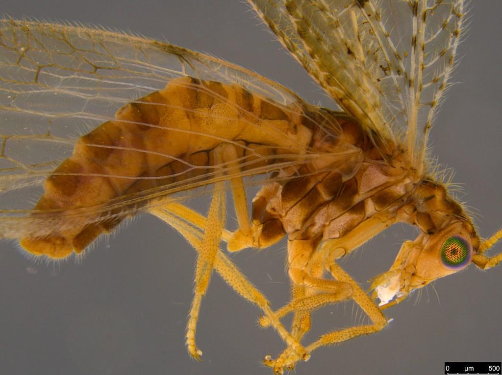 15b - Micromus tasmaniae (Walker, 1860)