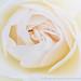 Bug on a Rose, 4.24.18