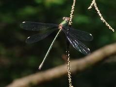 Gemeine Weidenjungfer (Chalcolestes viridis) (3)