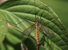 Tigerschnake, (Nephrotoma flavescens)