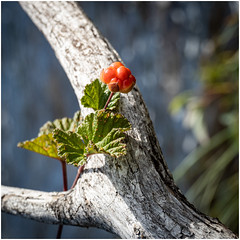 One cloudberry