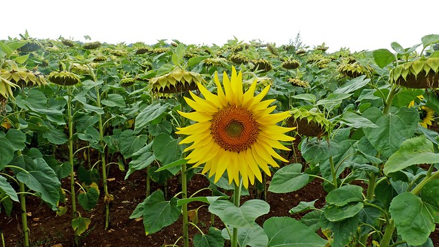 Sun Flower's as far as the eye could see.