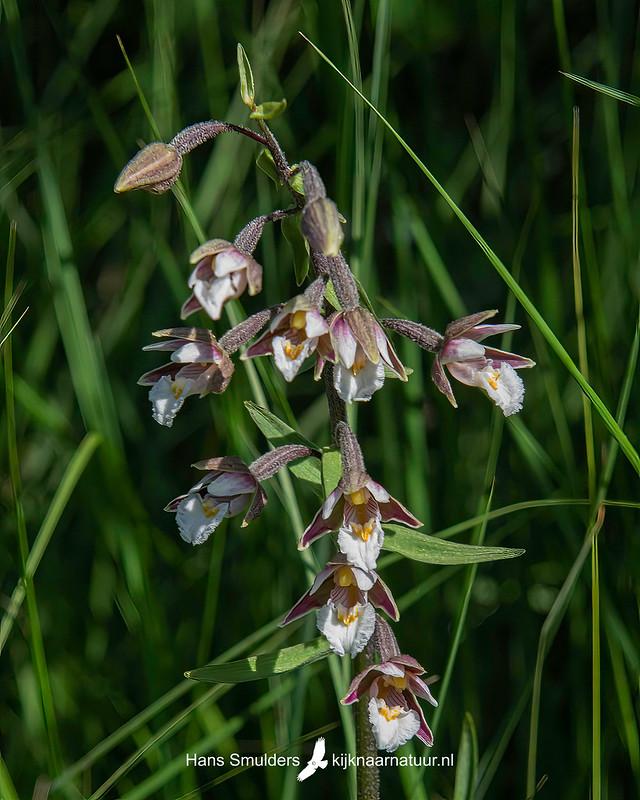 Moeraswespenorchis (Epipactis palustris)-850_4492
