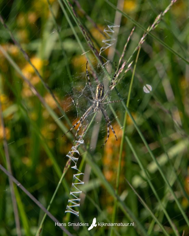 wespspin (Argiope bruennichi)-850_4507