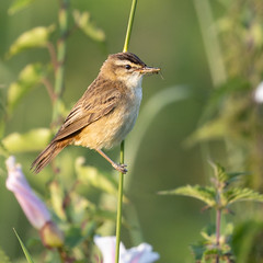 Sedge warbler with breakfast in the early morning sunshine
